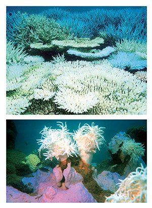 Scientists predict that global  climate change will result in greater  frequency of coral bleaching.